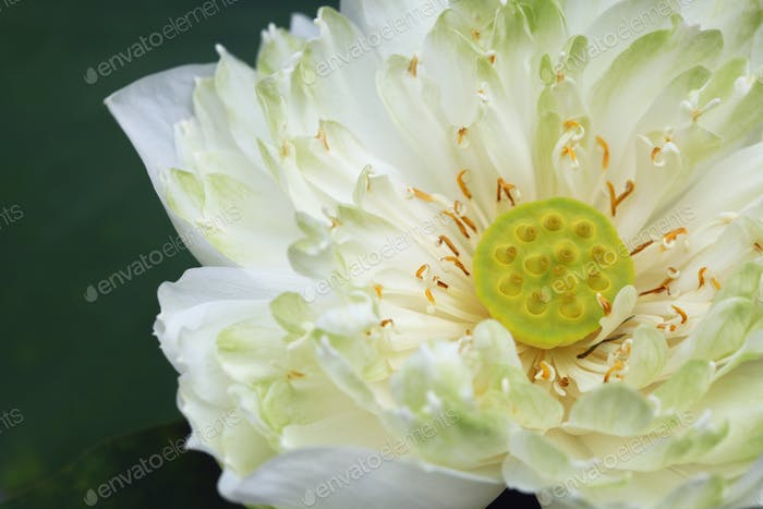 White water lily on plant