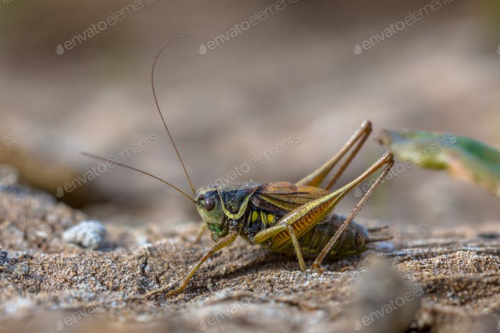 Roesels bush cricket in natural habitat