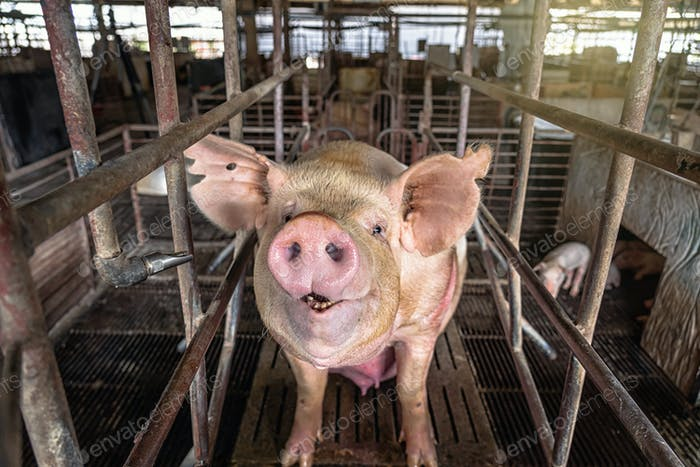 Pigs in hog farms, Pig industry