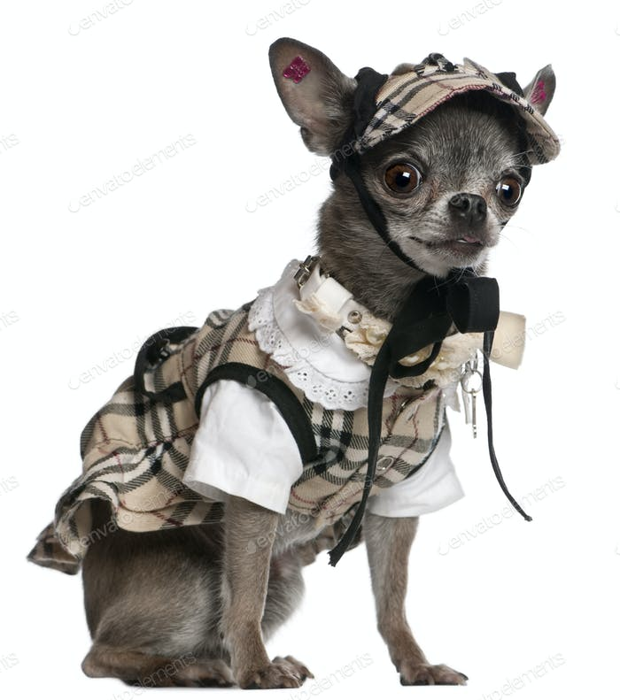 Chihuahua dressed in plaid outfit sitting in front of white background