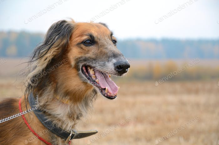 Portrait of wolfhound dog