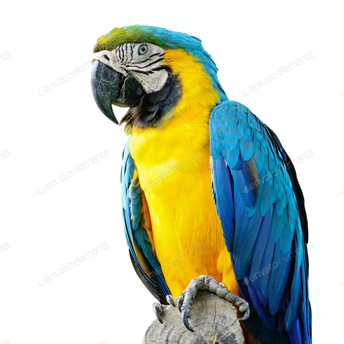 Blue and Glod Macaw isolated