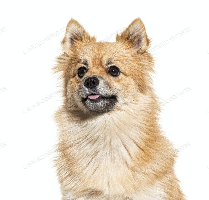 Portrait of a Pomeranian, isolated on white