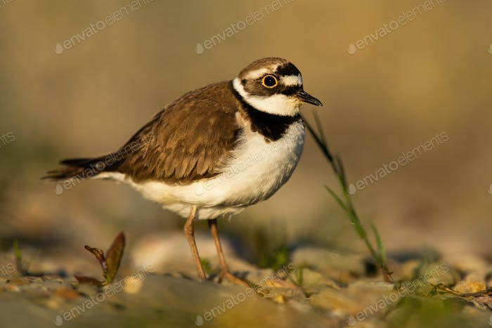 Little ringed plover standing on riverbank in autumn