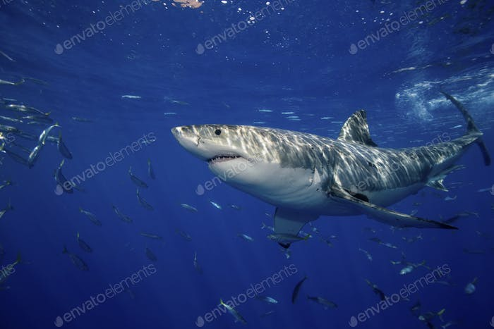 Great White Shark (Carcharodon Carcharias), seen just under  the surface near the Island of