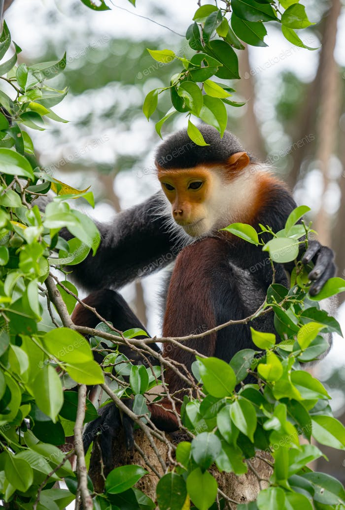 behavior of red shanked Douc Langur (Pygathrix nemaeus)