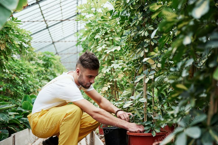 Skilled male bearded farmer working with plants in a greenhouse