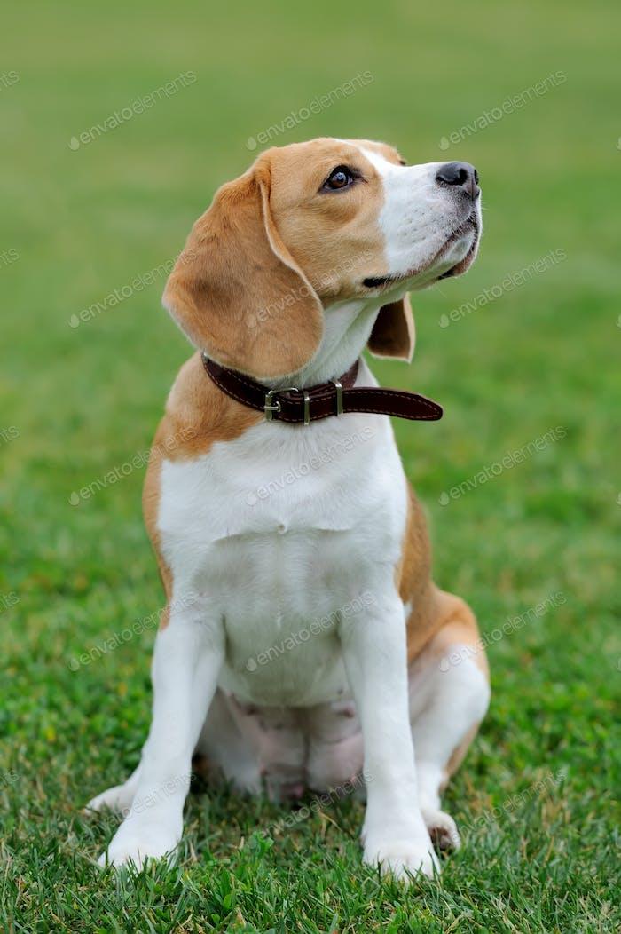 Schließen Beagle Hund