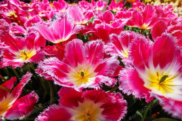 Beautiful pink blooming tulips curly. Keukenhof Flower Park
