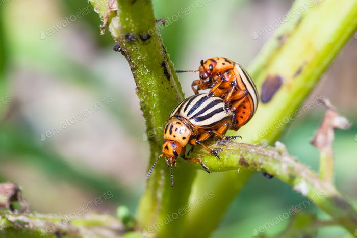 couple of colorado beetles on potato bush close up