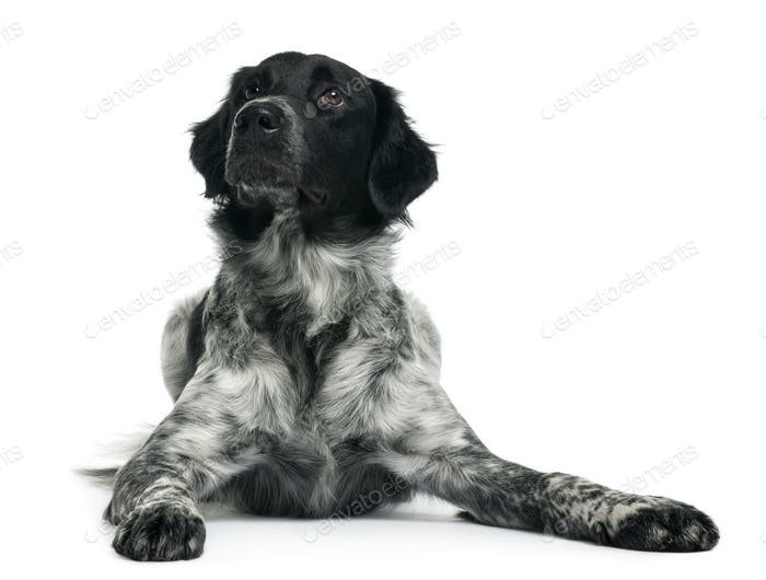 Border Collie, 10 months old, lying in front of white background