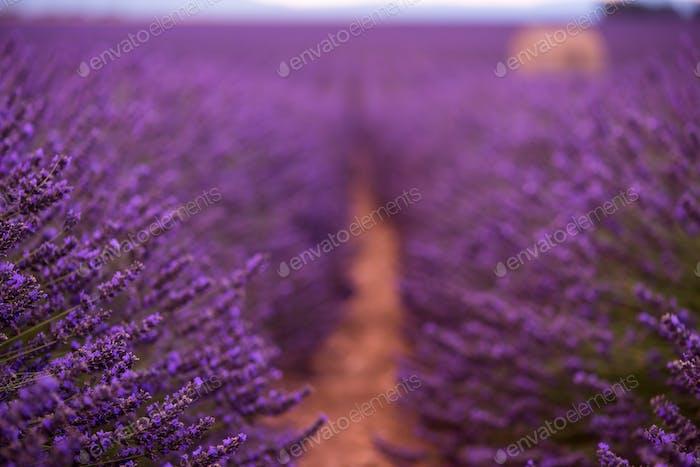 lila Lavendelblüten Feld mit einsamen alten Steinhaus