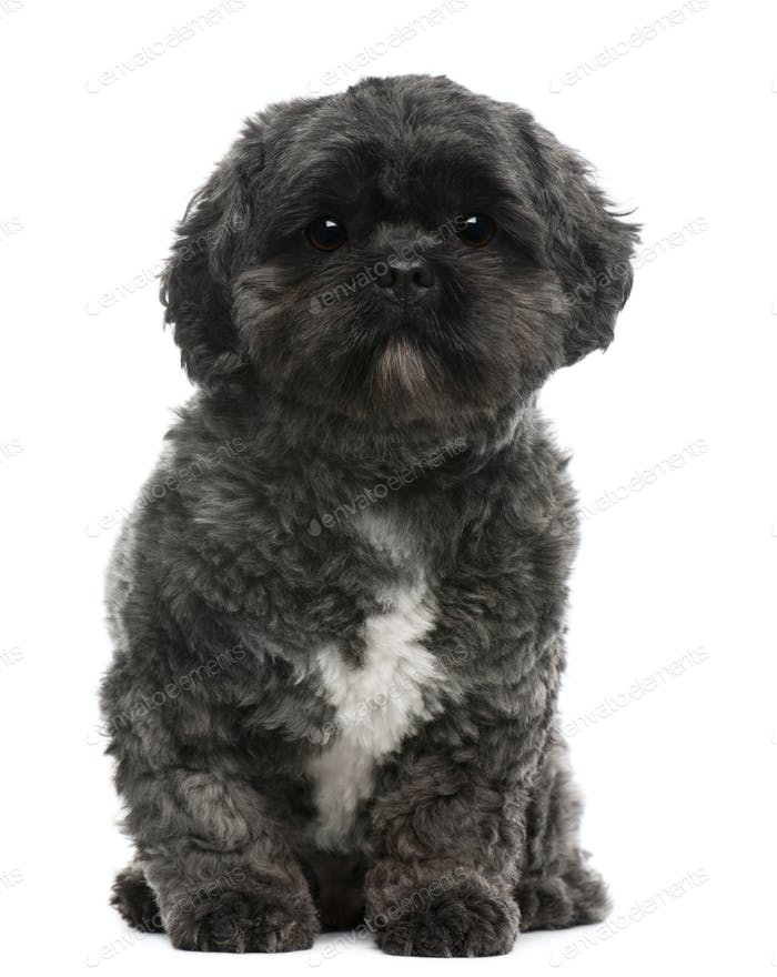 Lhasa Apso, 4 years old, sitting in front of white background