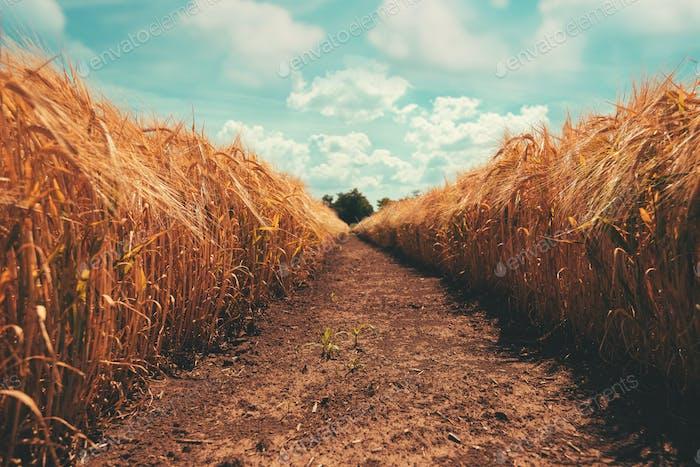 Schmaler Weg durch goldenes Gerstenfeld