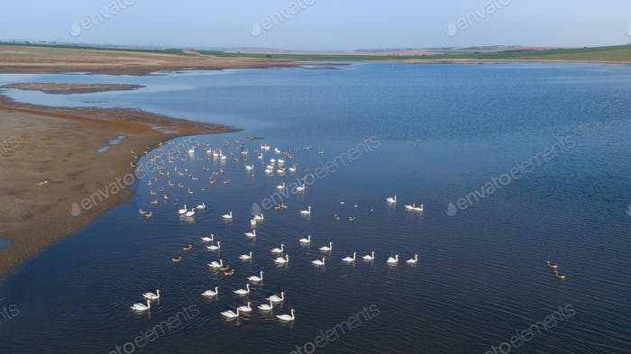 white swans on lake