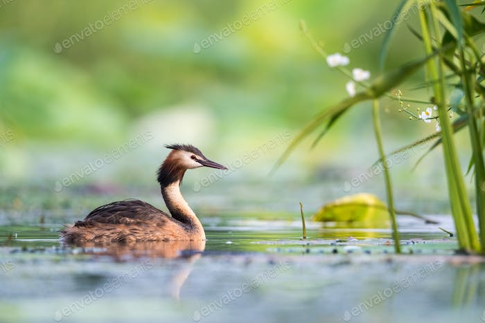 great crested grebe closeup