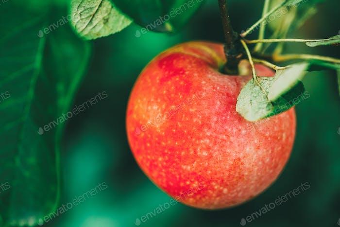 Frische rote Äpfel auf Apfelbaum Zweig