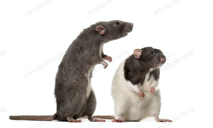 Two attentive Rats standing , isolated on white