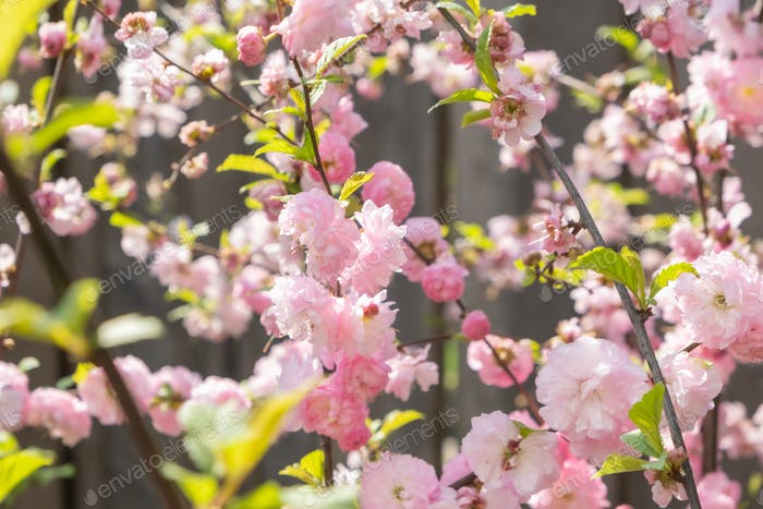 Cherry tree in blooming