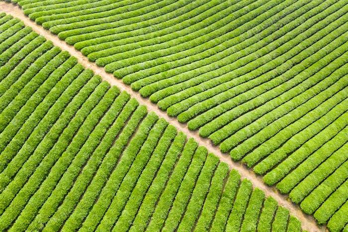 tea plantation background texture