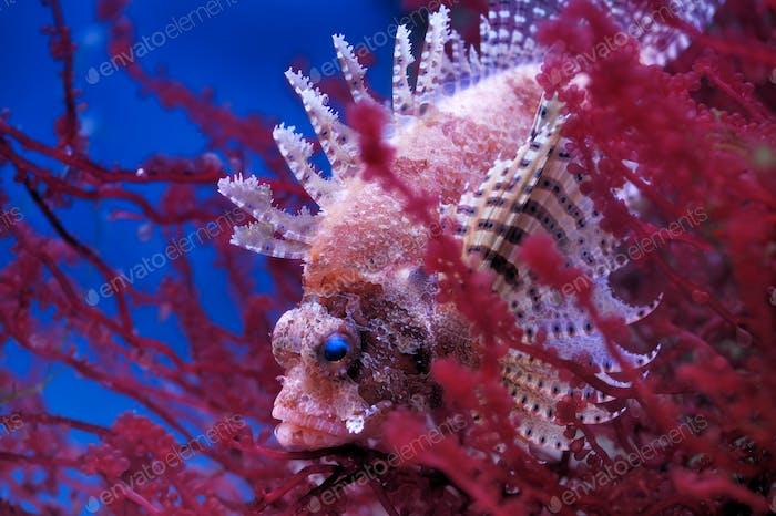Lionfish (Dendrochirus brachypterus)