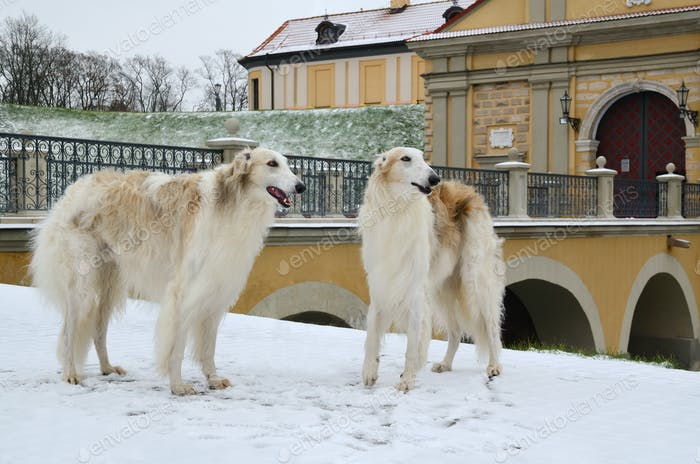 Two borzoi dogs in winter park