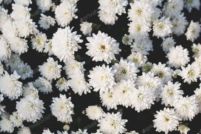 Close-up of beautiful white chrysanthemum