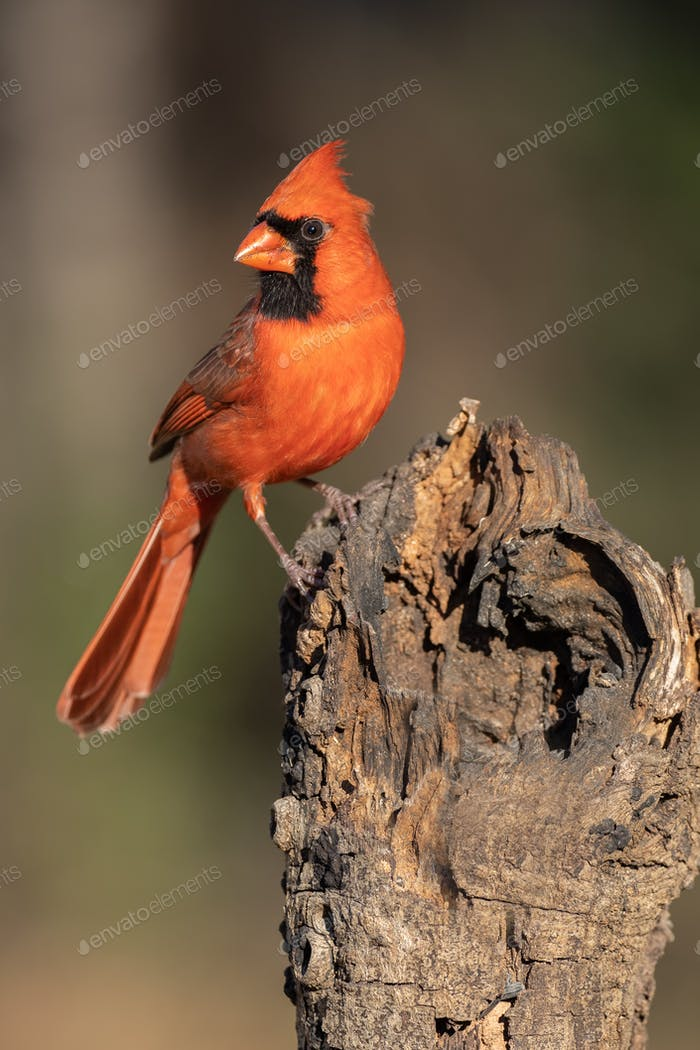 Northern Cardinal Perching on a Stump