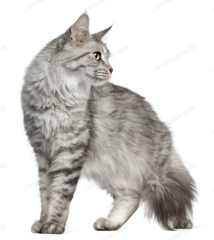 Maine Coon, 2 years old, in front of white background