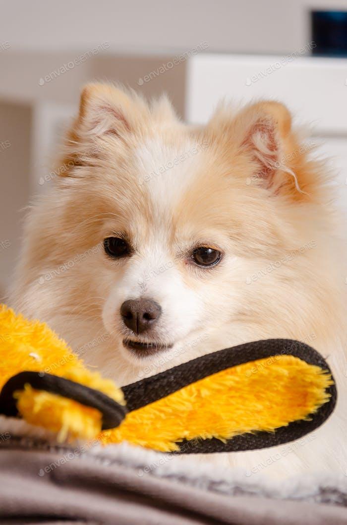 Perro pomeraniano acostado sobre manta con juguete amarillo.