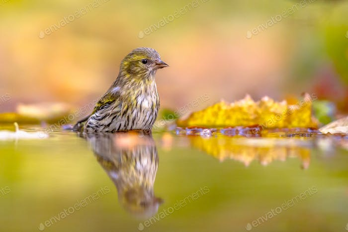 Eurasian siskin washing in water