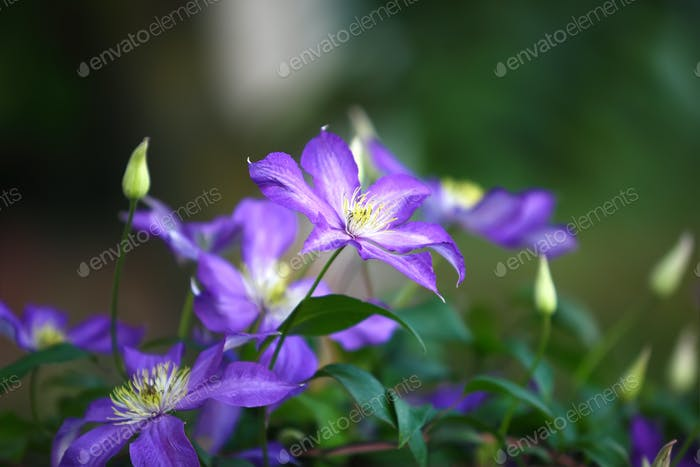 Purple clematis flowers in the garden