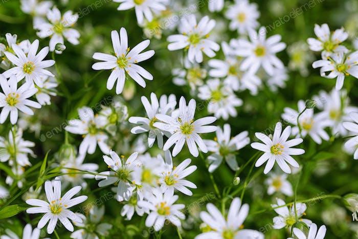 Beautiful blooming daisy field