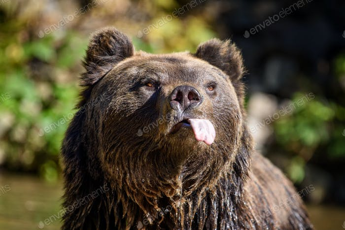 Close-up funny brown bear portrait with outstretched tongue. Danger animal in nature habitat
