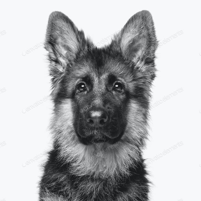 beautiful german shepard puppy