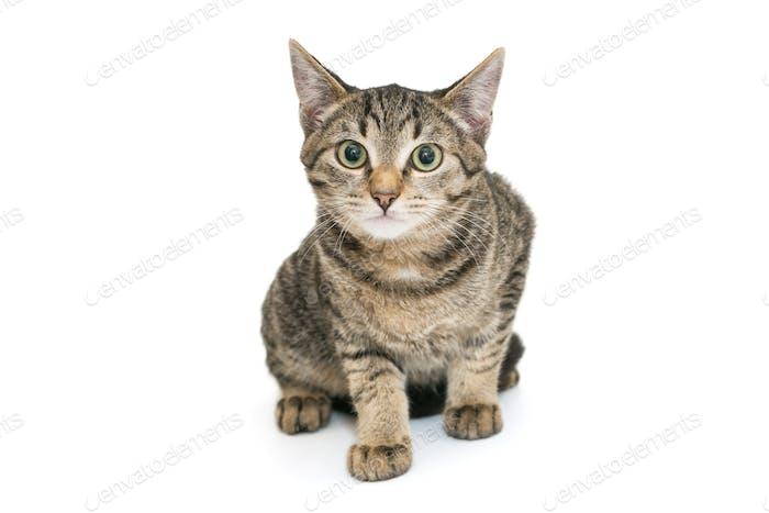 Kleines, graues Kätzchen