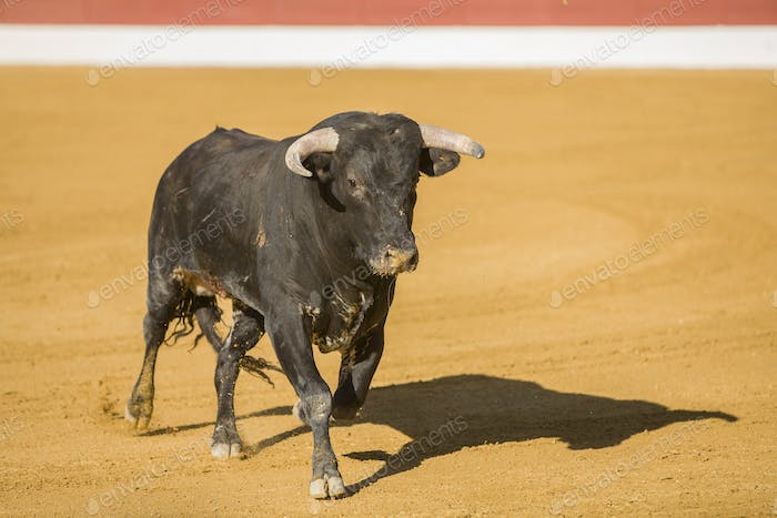 Capture of the figure of a brave bull in a bullfight, Spain