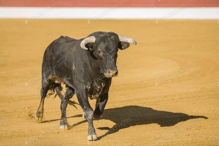 Erfassung der Figur eines tapferen Bullen in einem Stierkampf, Spanien