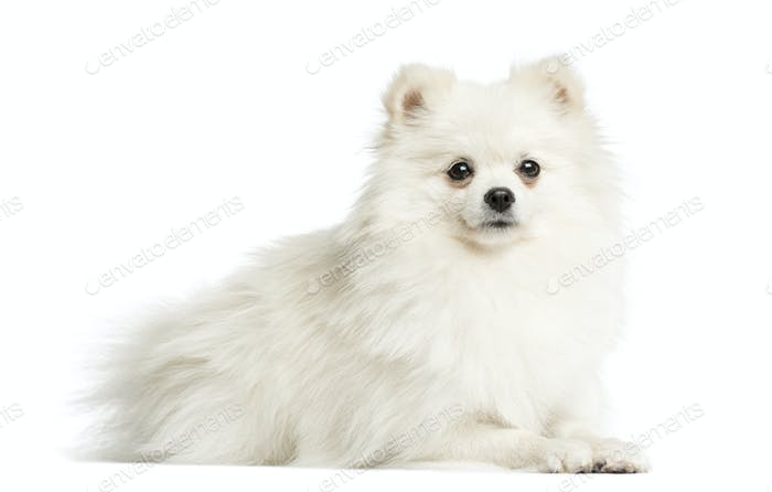 Thumbnail for Spitz lying in front of a white background