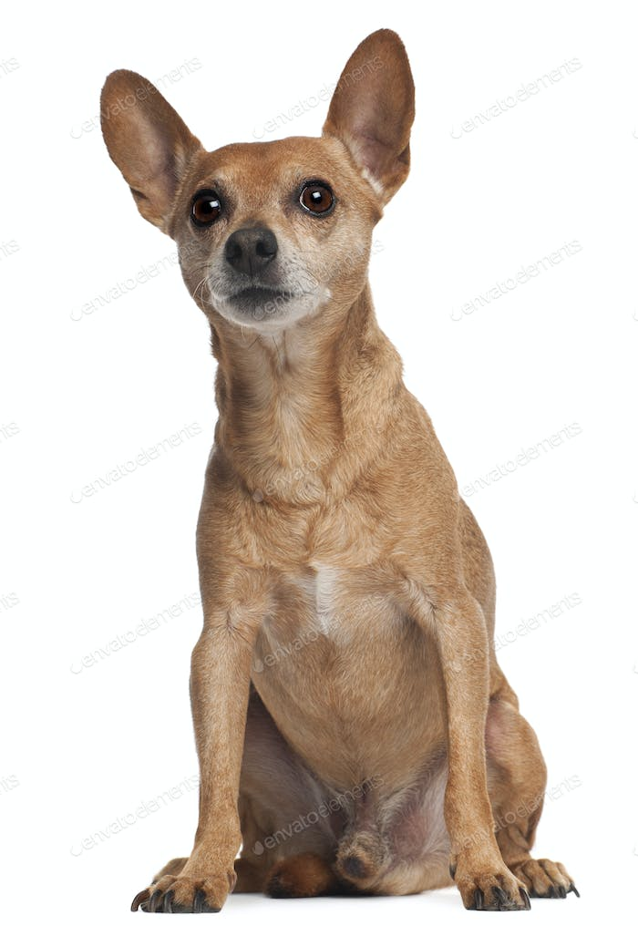 Miniature Pinscher sitting in front of white background