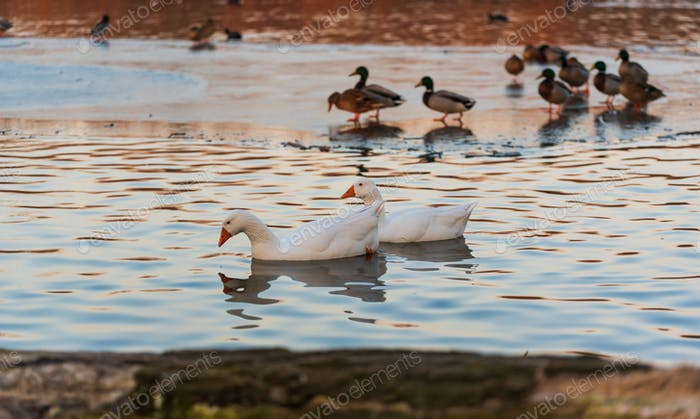 White goose swimming on lake in sunset light