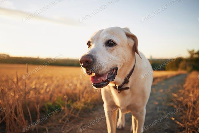 Dog on footpath at sunset