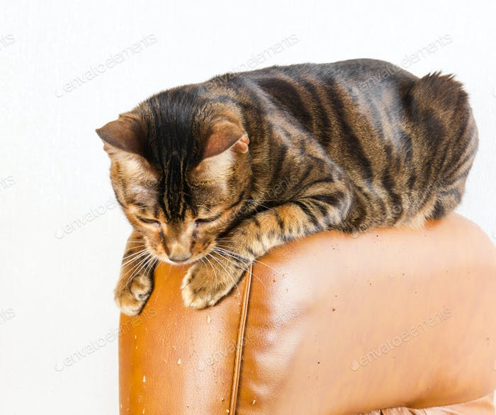 Cat sits on back of scratched leather armchair. Cat scratches th