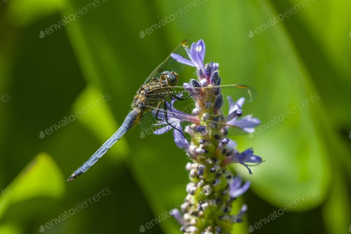 Blue dragonfly on spike of lily