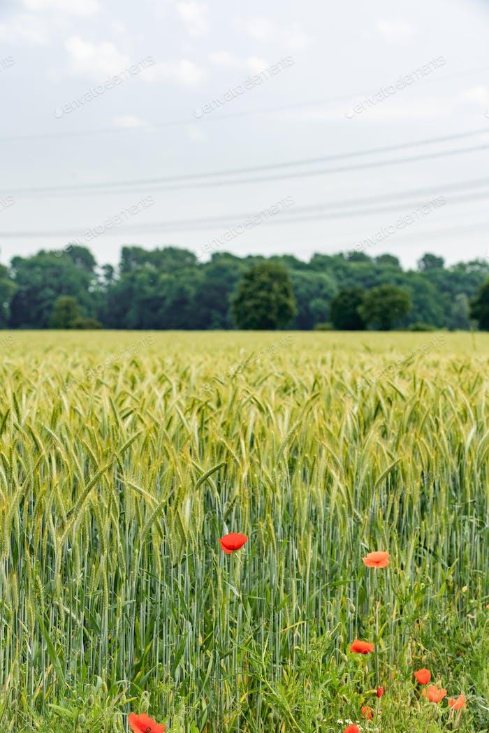 Mohnblumen wachsen in der Nähe eines Gerstenfeldes. Mohnblumen auf dem Hintergrund eines Gerstenfeldes.