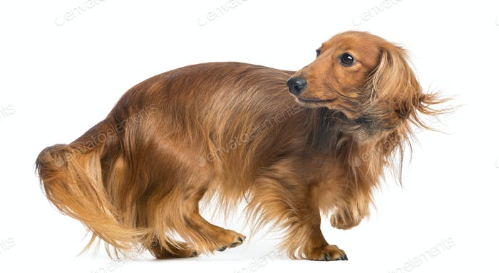 Dachshund, 4 years old, walking and looking back against white background