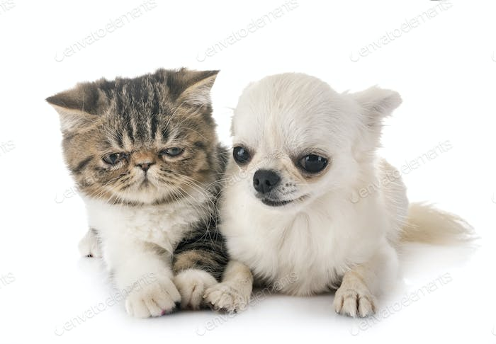 exotic shorthair kitten and chuihuahua