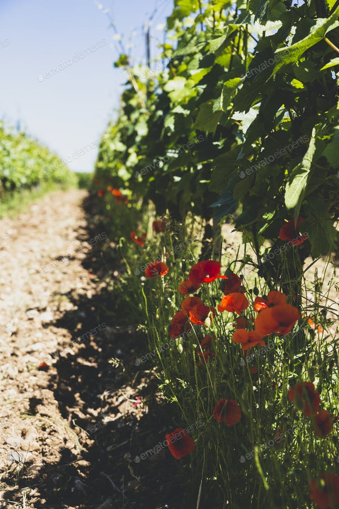 View along row of red poppies and vines at a vineyard.