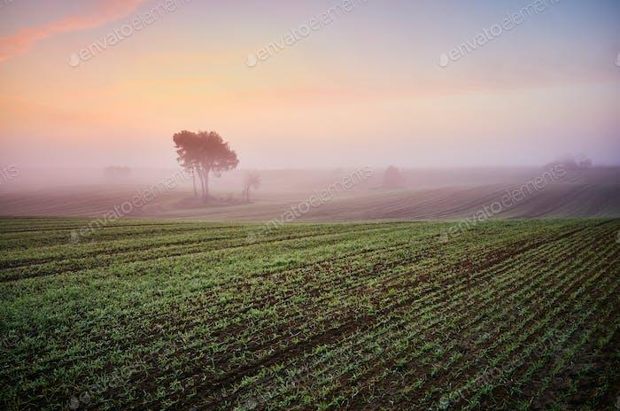 Misty dawn on a field.