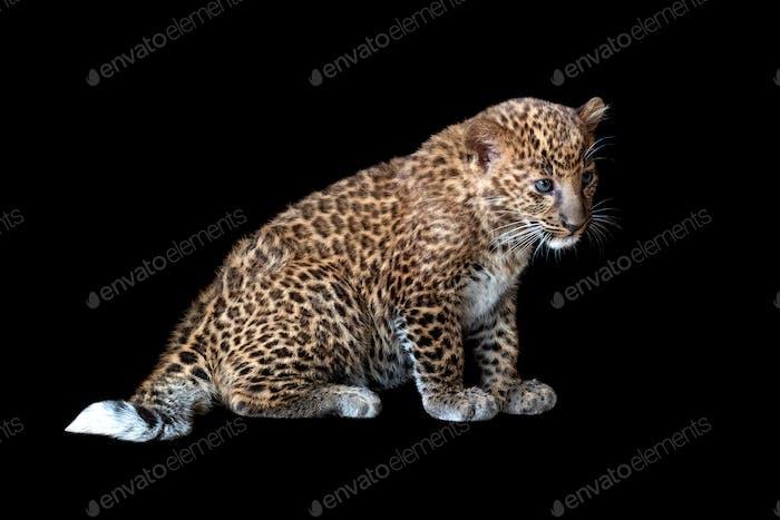 Leopard cub on a black background